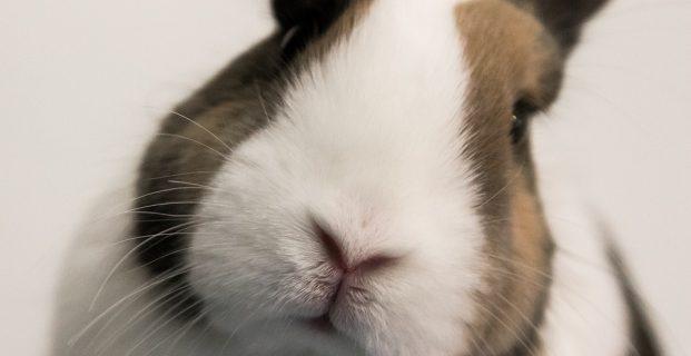 Zahnerkrankungen bei Kaninchen vorbeugen