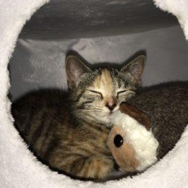 Kätzchen Lisile