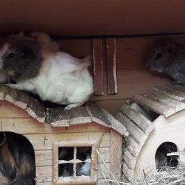 Meerschweinchen suchen neues Zuhause