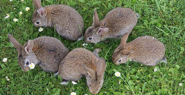 Rangordnung bei Kaninchen