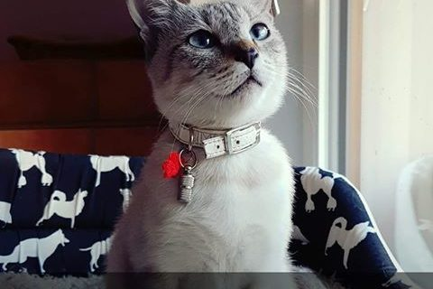 Katze Kira in Innichen vermisst