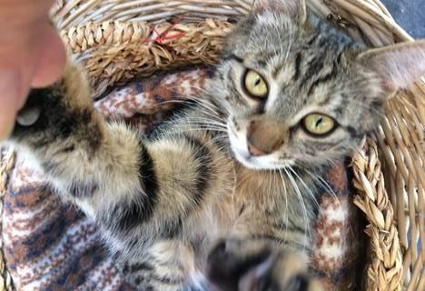 Tigerkatze in Niederrasen vermisst