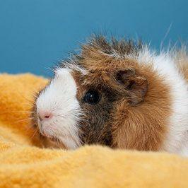 Die richtige Pflege von Meerschweinchen