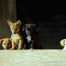 Wenn der Hundewelpe schlecht sozialisiert ist
