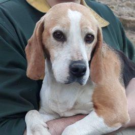 Beagle suchen neues Zuhause