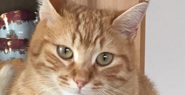 Katze in St. Georgen vermisst