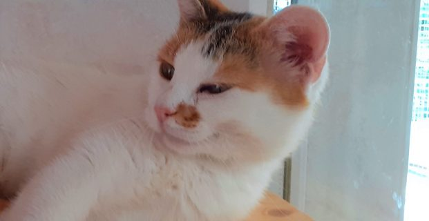 Katze weiß getigert