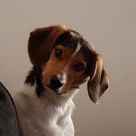 Beagle-Mix Simba