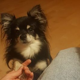 Chihuahua Philipp