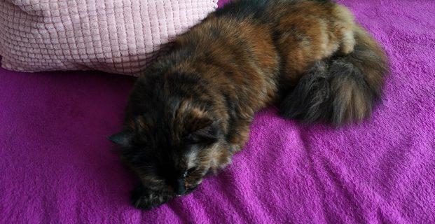 Weibliche Katze dunkel 3farbig