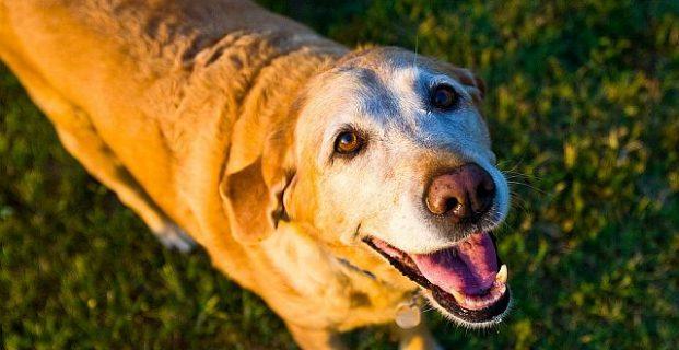 Die richtige Ernährung für ältere Hunde