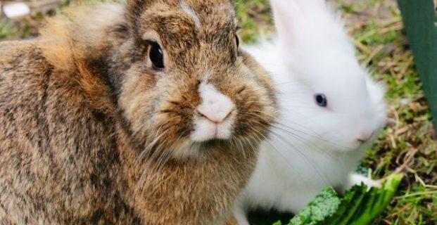 Fellwechsel bei Kaninchen