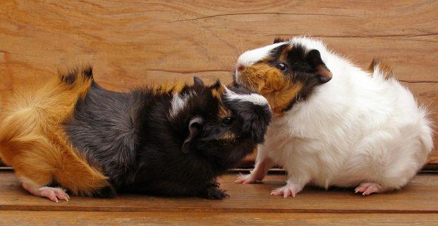 So kommunizieren Meerschweinchen